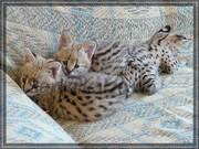 прекрасные котята экзотики предложения сейчас.