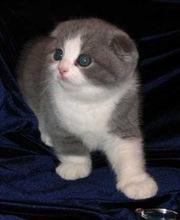 Приму в дар вислоухого котенка