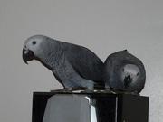 Африканский Серый попугай - ручные птенцы