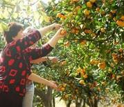 Цитрусы мандарины