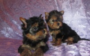 Красивая Йоркширский терьер щеночки