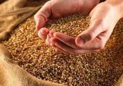 Продаю  пшеницу,  зерноотходы,  ячмень,  овёс.