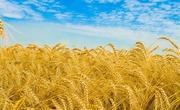 Продаю пшеницу,  зерноотходы, ячмень,  овёс. По всей территории РК и РФ